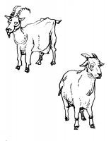 L'allevamento: la capra e la pecora