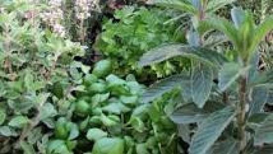 Le piante aromatiche  Eventi  Istituzione Biblioteche di ...